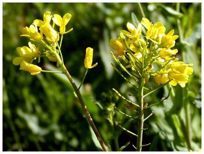 mustard close up