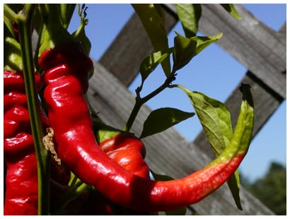 red cayenne pepper