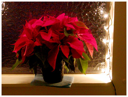 poinsettia with lights