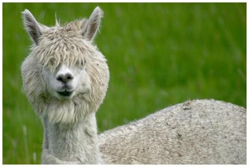 http://www.onfocus.com/cam/2004/alpaca.jpg