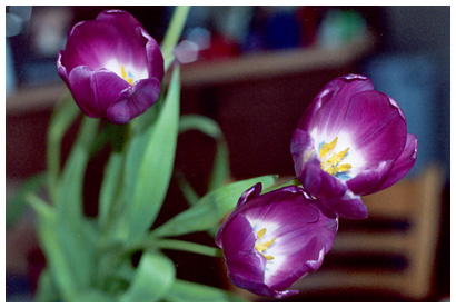 tulips in my kitchen